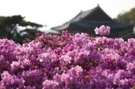 More Cherry Blossam